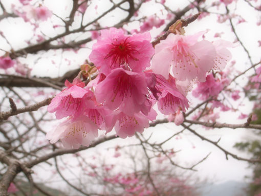カンヒ桜.jpg