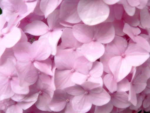ピンクのアジサイ.jpg