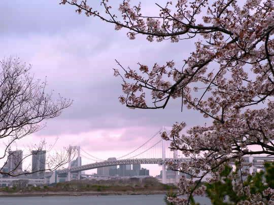 レインボーブリッジと桜.jpg