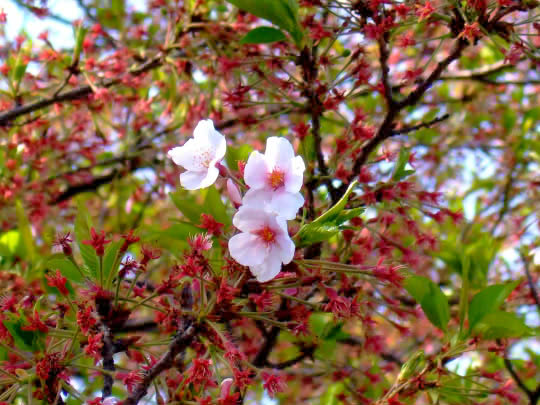 隅田川の桜4月15日.jpg
