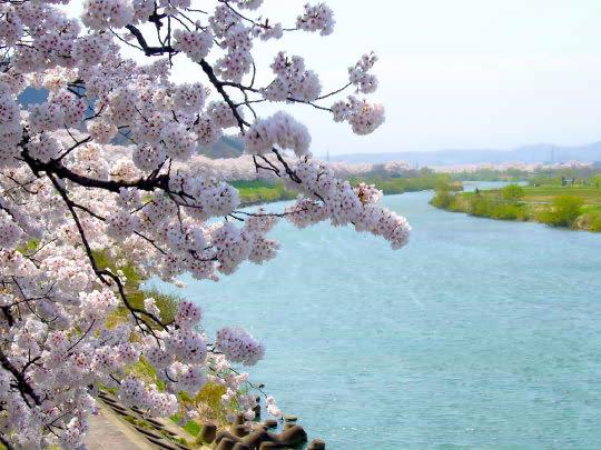 一目千本桜1.jpg