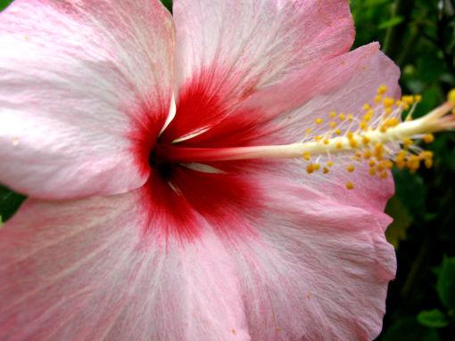 沖縄の花ハイビスカス.jpg