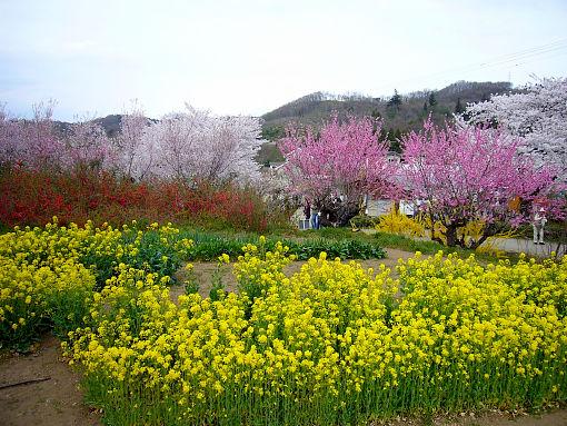 花見山4.jpg