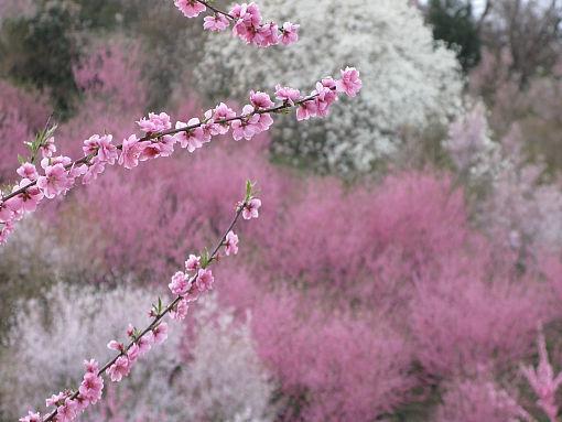 花見山の八重桜.jpg