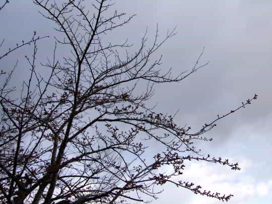 桜4月17日.jpg