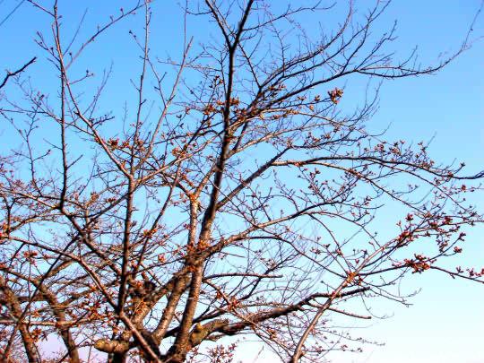 桜4月15日.jpg