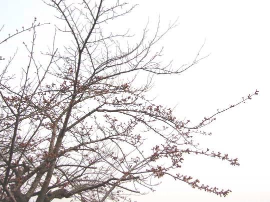 桜4月18日.JPG