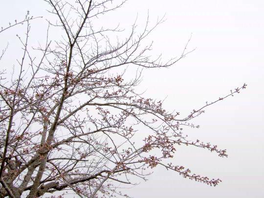 桜4月19日.jpg