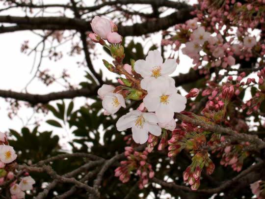 桜4月19日花.jpg