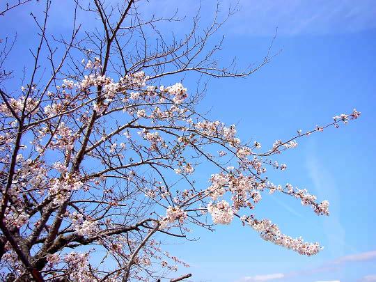桜4月23日.jpg