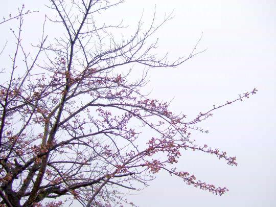 桜4月20日.jpg
