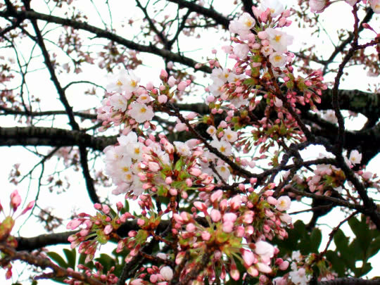 桜4月20日五分咲き.jpg