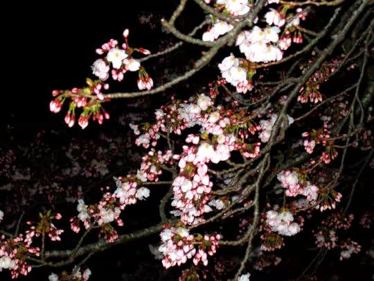 桜4月20日夜.jpg