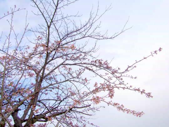 桜4月21日.jpg