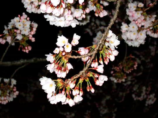 桜4月21日夜.jpg