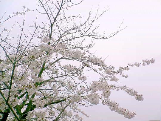 桜4月27日.jpg