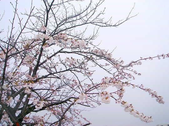 桜4月24日.jpg