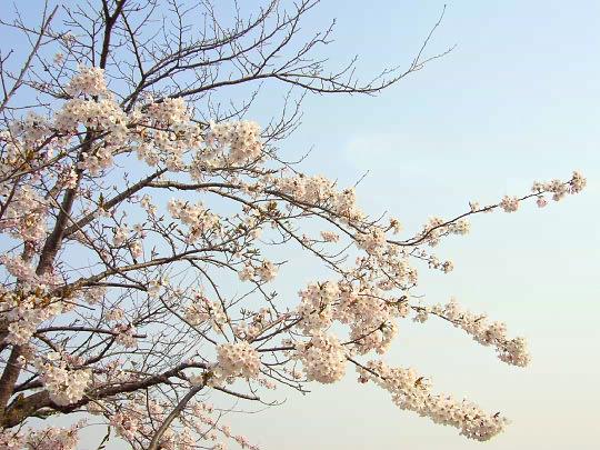 桜4月25日.jpg