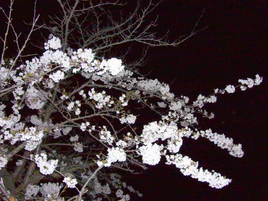 桜4月25日夜.jpg