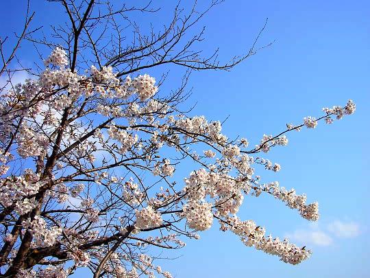 桜4月26日.jpg