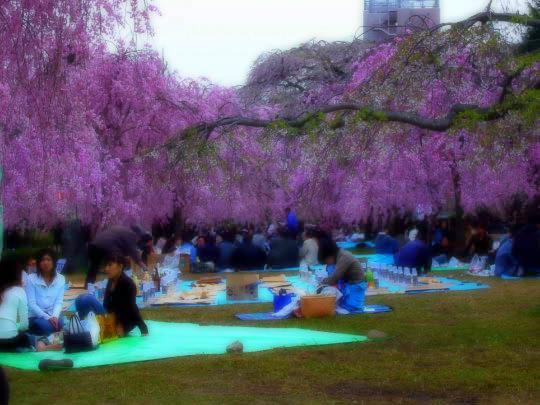 桜4月26日お花見.jpg