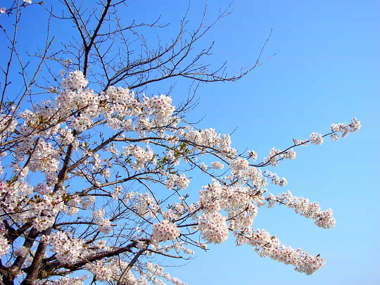 桜4月28日.jpg