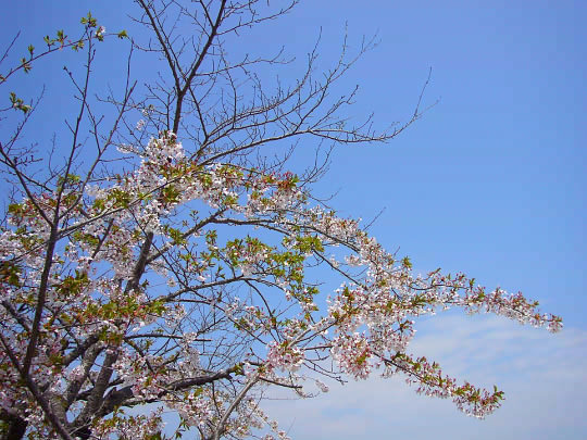 桜4月30日.jpg