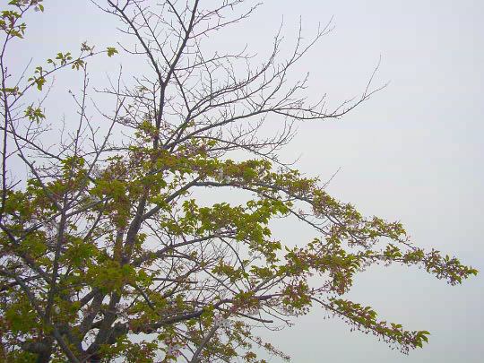 桜5月5日.jpg