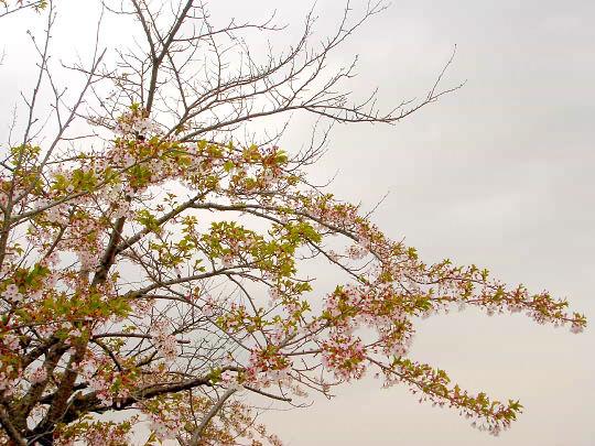 桜5月1日.JPG