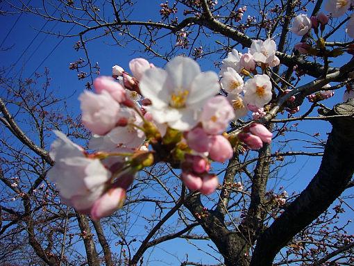 桜0412.jpg