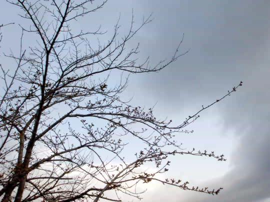 桜4月14日.JPG