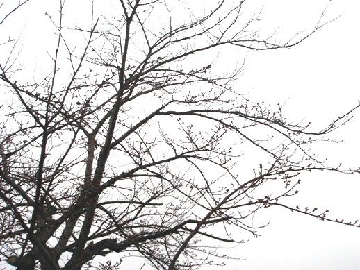 桜4月5日.JPG