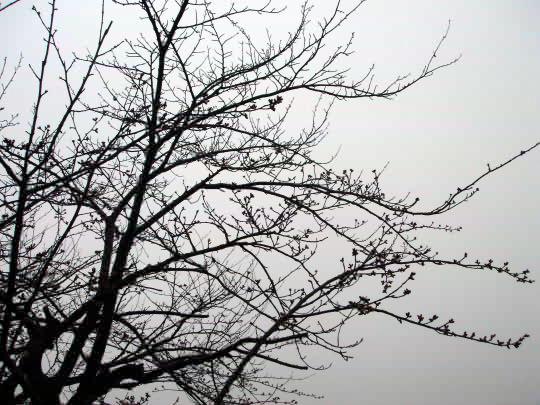 桜4月12日.JPG