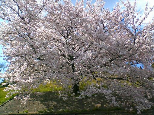 大阪の桜。.jpg
