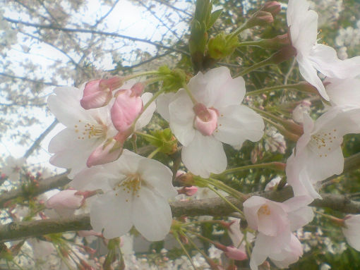 大阪の桜。2.jpg
