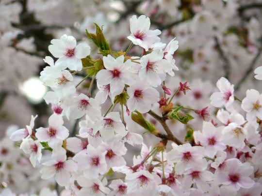 長谷の桜.jpg