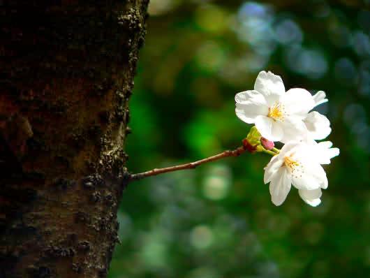 鶴岡八幡宮の桜.jpg