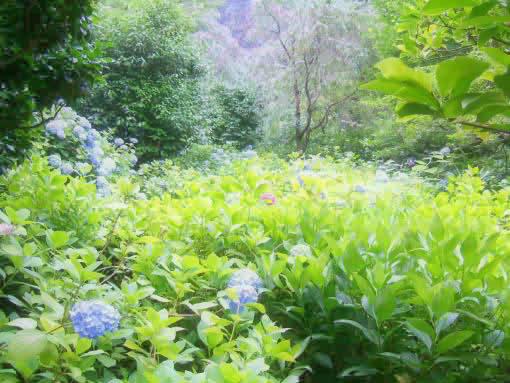 明月院紫陽花.jpg