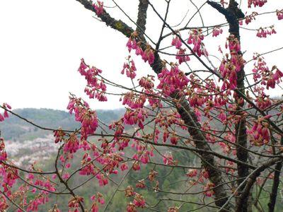 Prunus_campanulata
