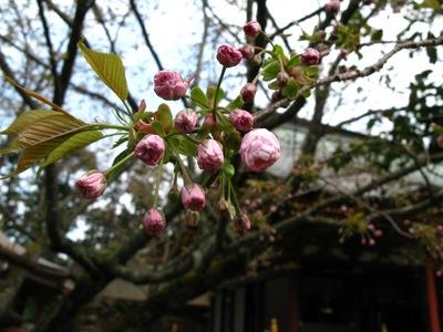 Prunus_lannesiana