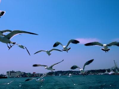 Sea_mew