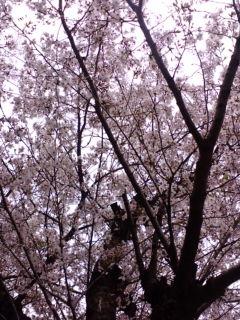 大阪の桜。