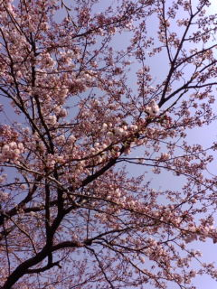 みやぎの桜はこれからですよ