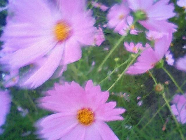 綺麗に咲いてます