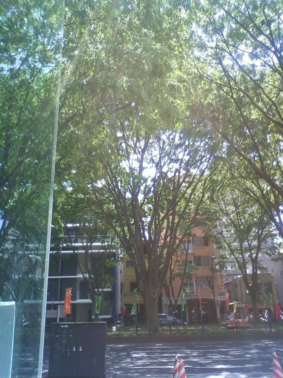 街路樹も新緑だなぁー
