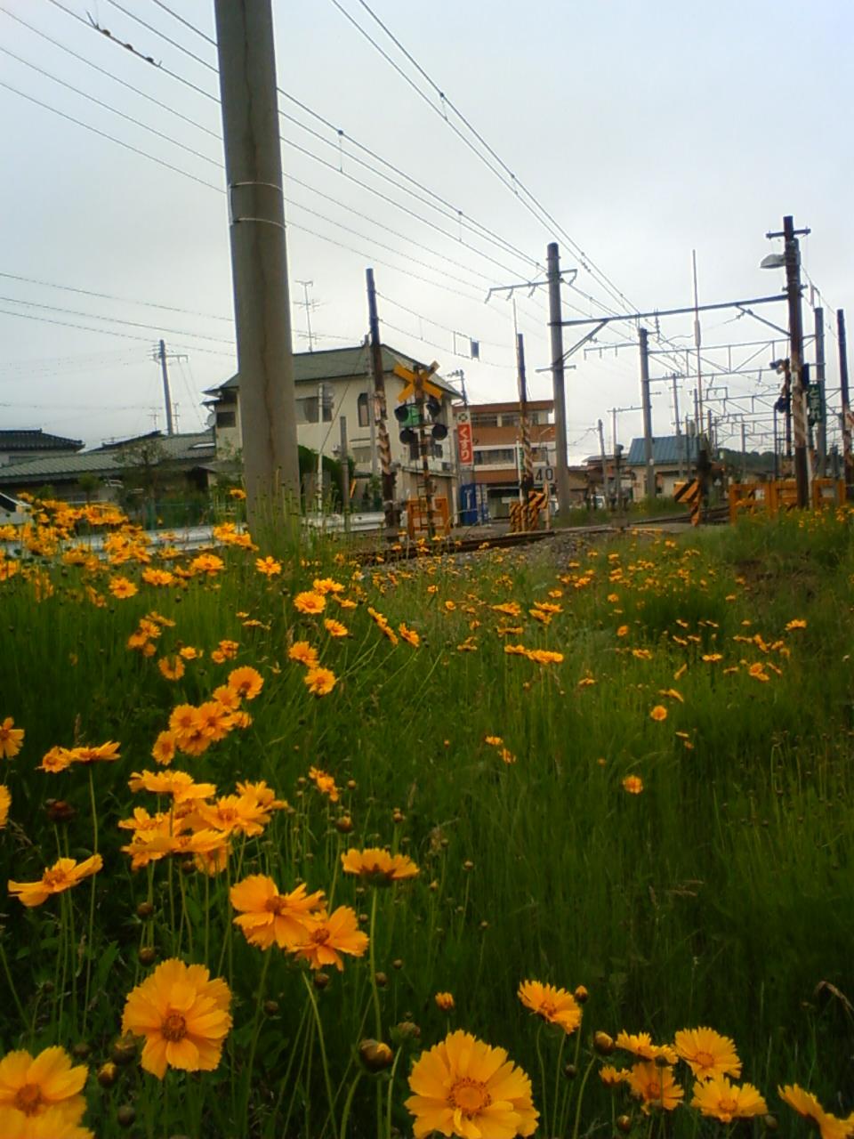 線路脇の花畑