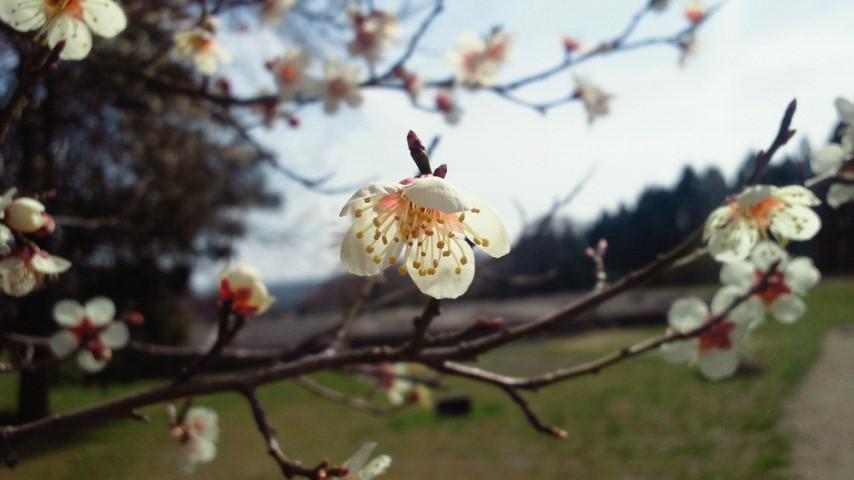 多賀城の梅。