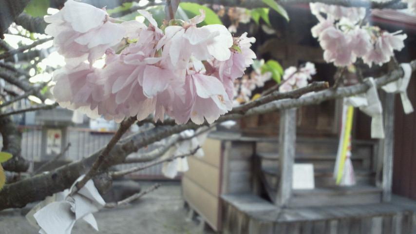 神社の桜には。