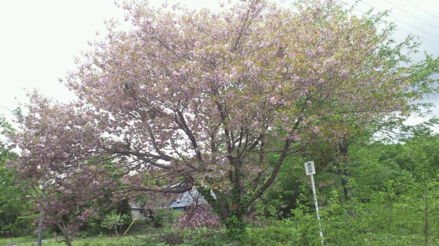 栗駒の八重桜。