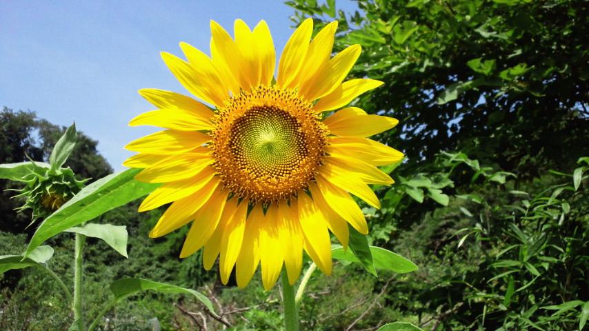 太陽の花もこの通り